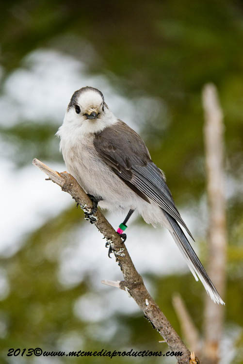 Gray Jay Picture-429