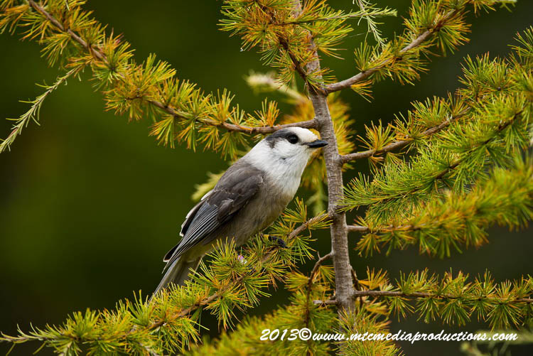 Gray Jay Picture-430