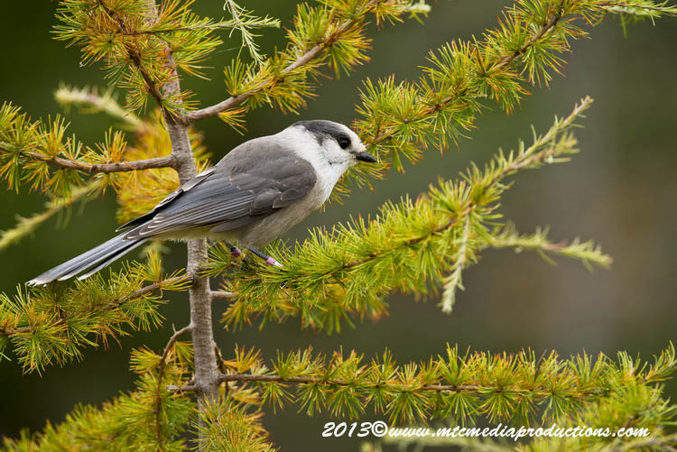 Gray Jay Picture-431