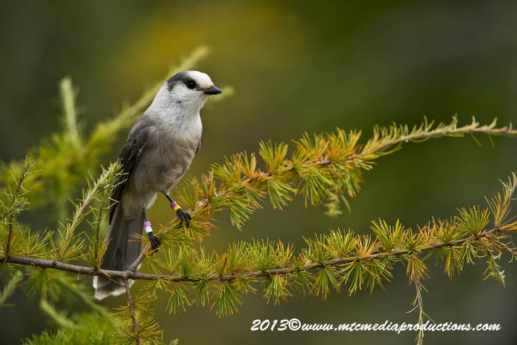 Gray Jay Picture-432