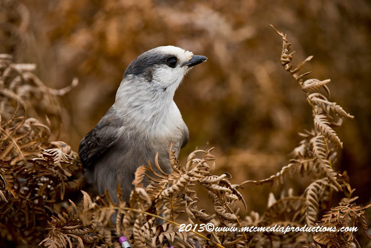 Gray Jay Picture-433