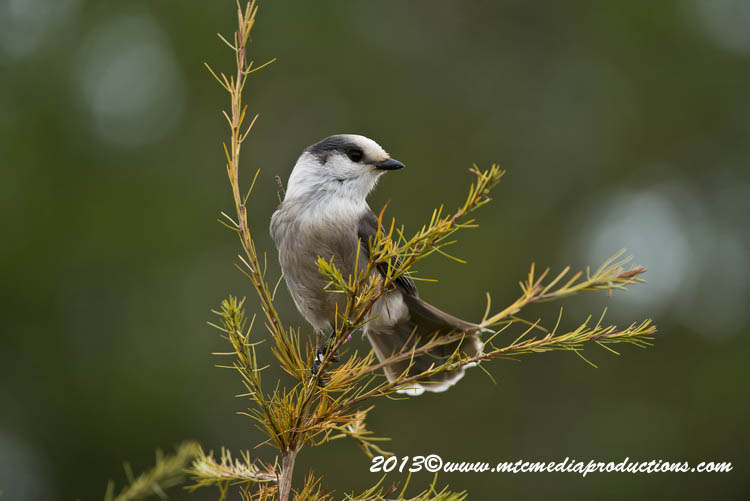 Gray Jay Picture-434