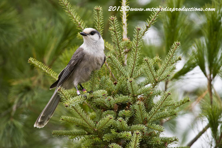 Gray Jay Picture-435