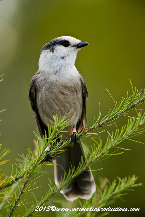 Gray Jay Picture-436