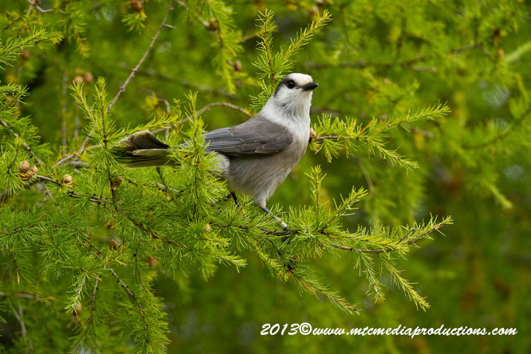 Gray Jay Picture-437