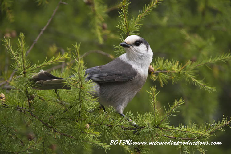 Gray Jay Picture-438