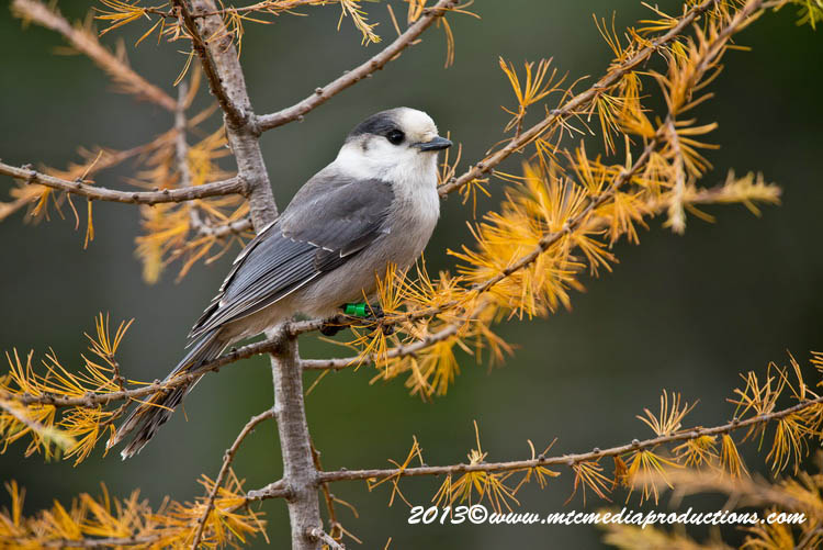 Gray Jay Picture-440
