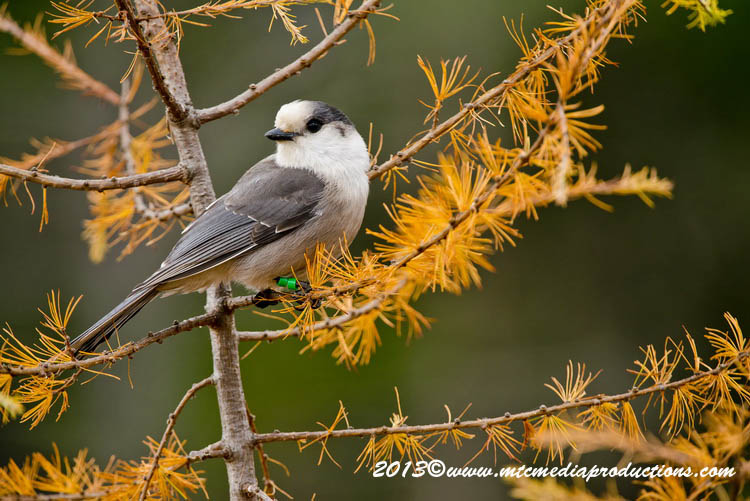 Gray Jay Picture-441