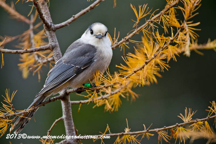 Gray Jay Picture-442