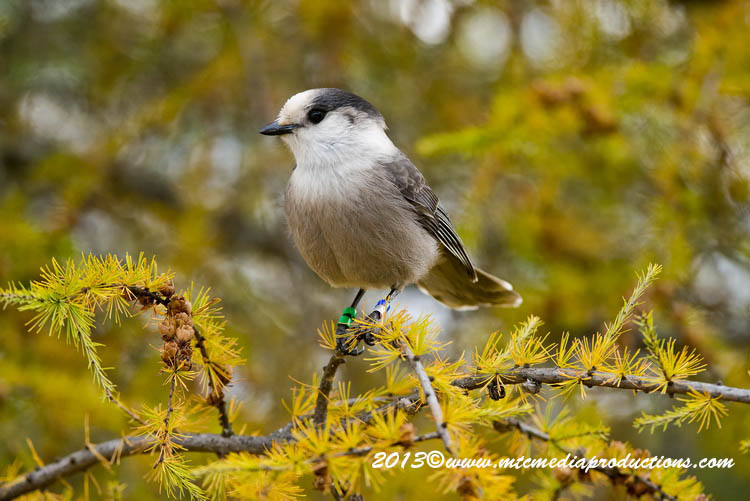 Gray Jay Picture-443