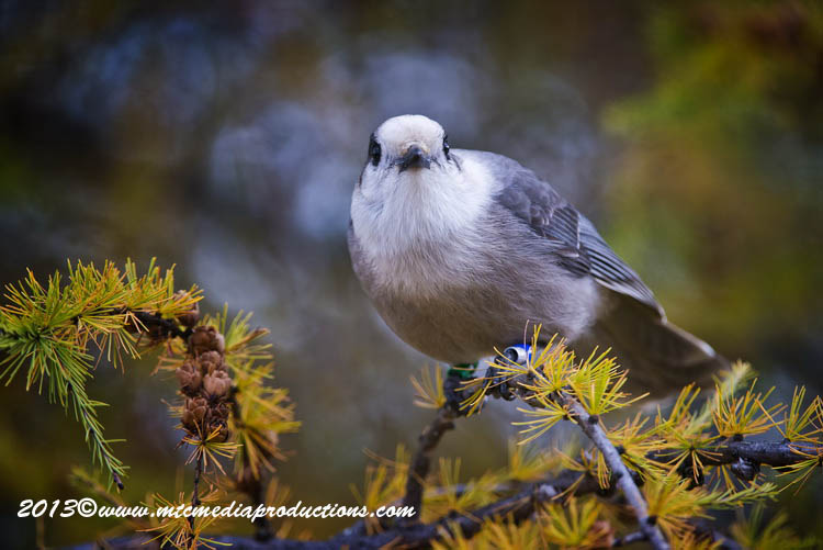 Gray Jay Picture-444