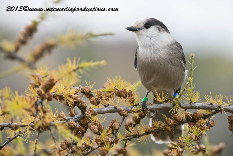 Gray Jay Picture-445