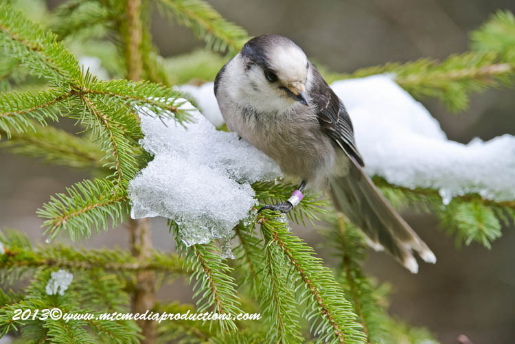 Gray Jay Picture-446