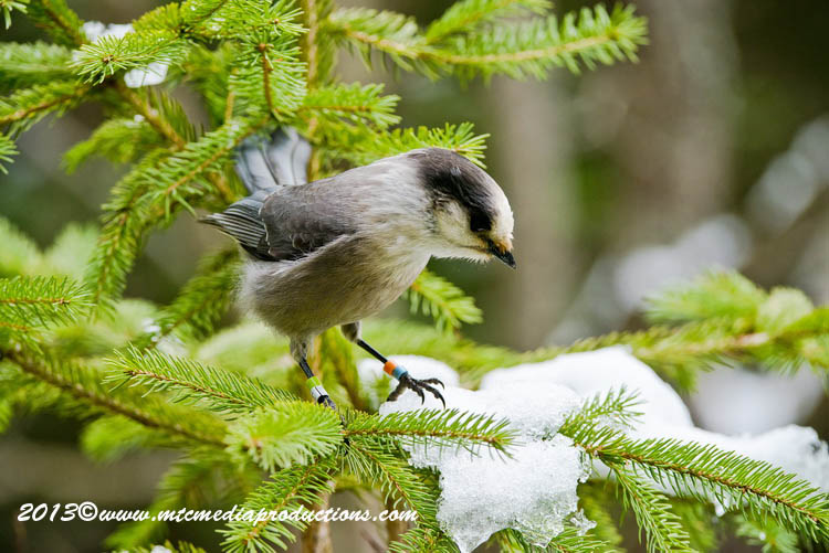 Gray Jay Picture-448