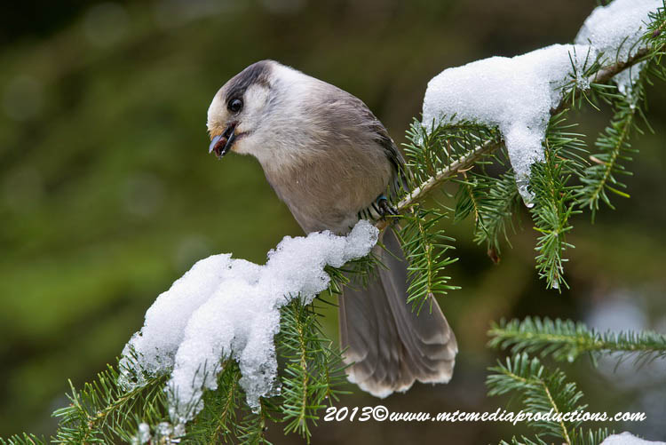 Gray Jay Picture-449