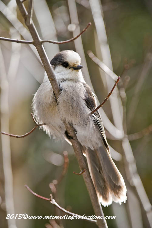 Gray Jay Picture-451