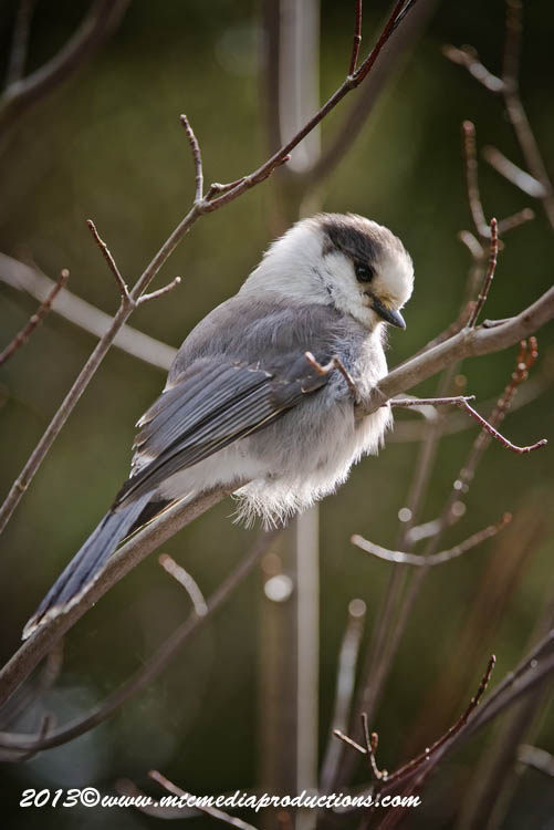 Gray Jay Picture-452