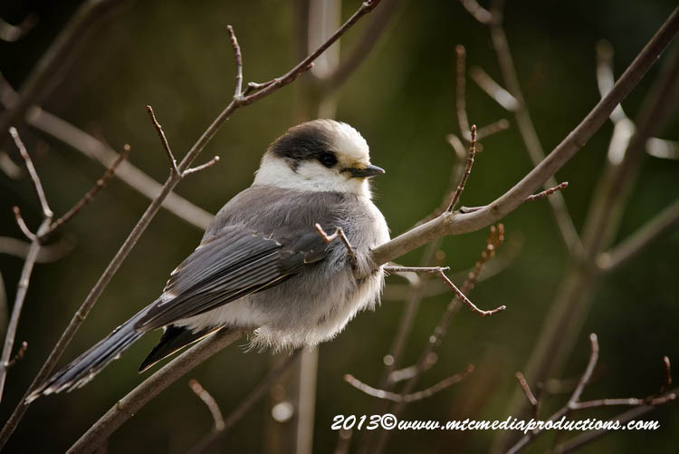 Gray Jay Picture-453