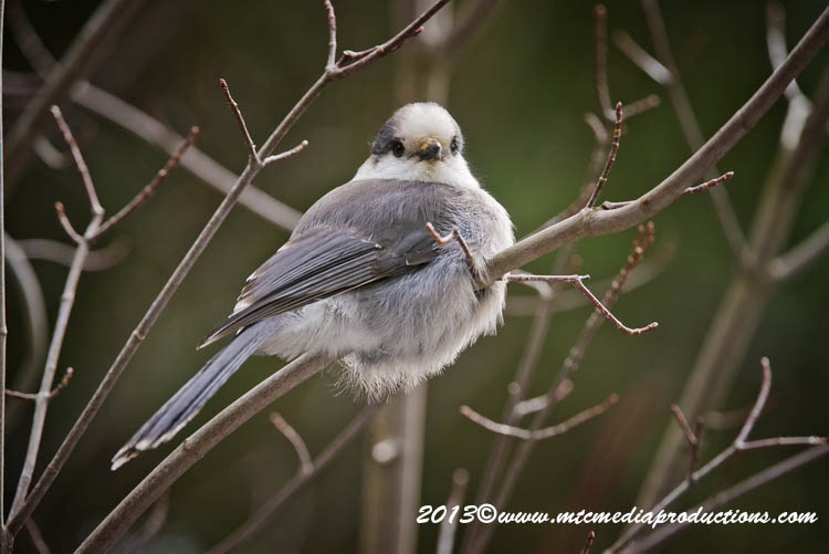 Gray Jay Picture-454