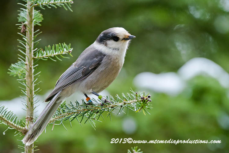 Gray Jay Picture-455