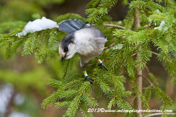 Gray Jay Picture-457