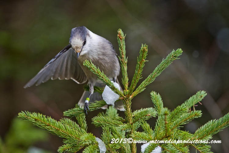 Gray Jay Picture-459