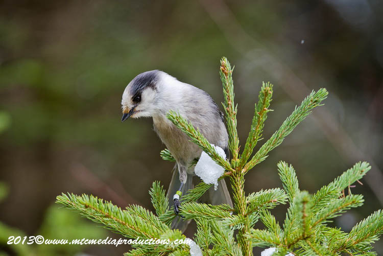 Gray Jay Picture-460