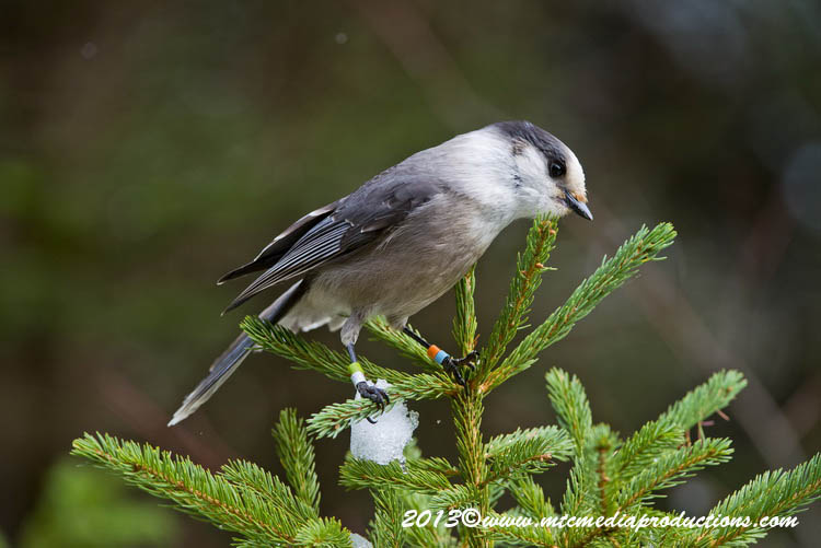 Gray Jay Picture-461