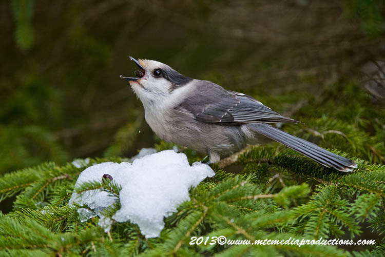Gray Jay Picture-463