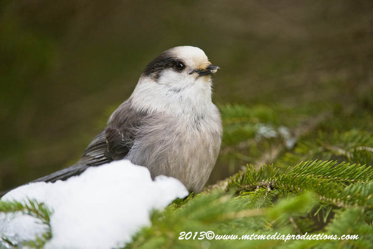 Gray Jay Picture-464