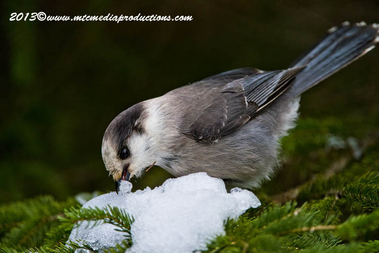Gray Jay Picture-465