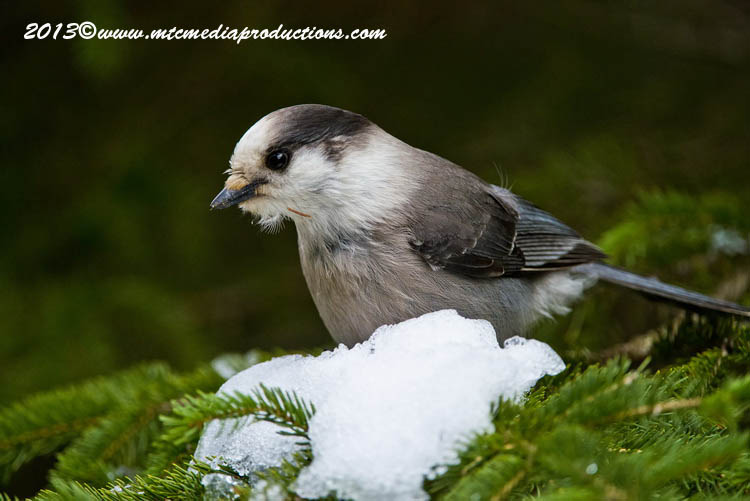 Gray Jay Picture-466