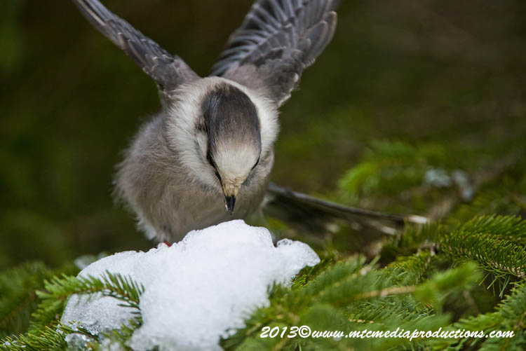Gray Jay Picture-467