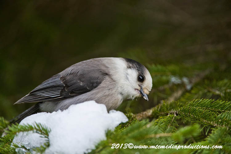 Gray Jay Picture-468
