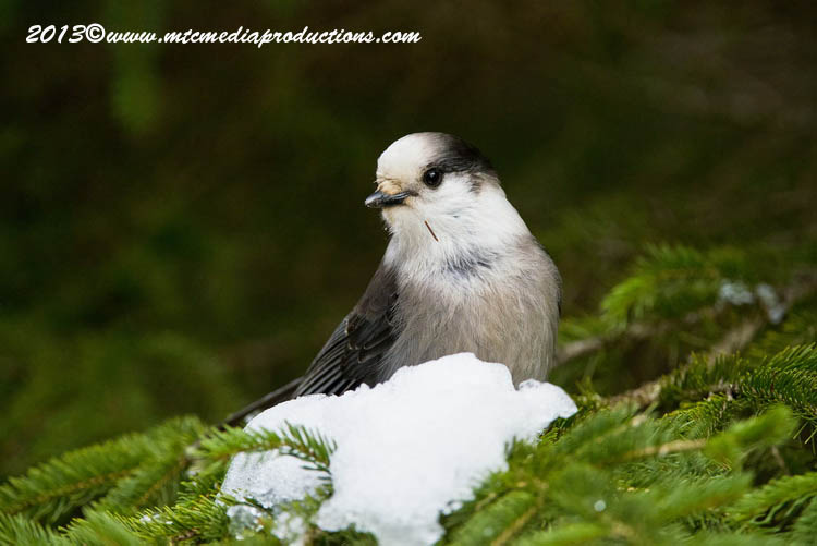 Gray Jay Picture-469