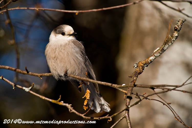 Gray Jay Picture-470