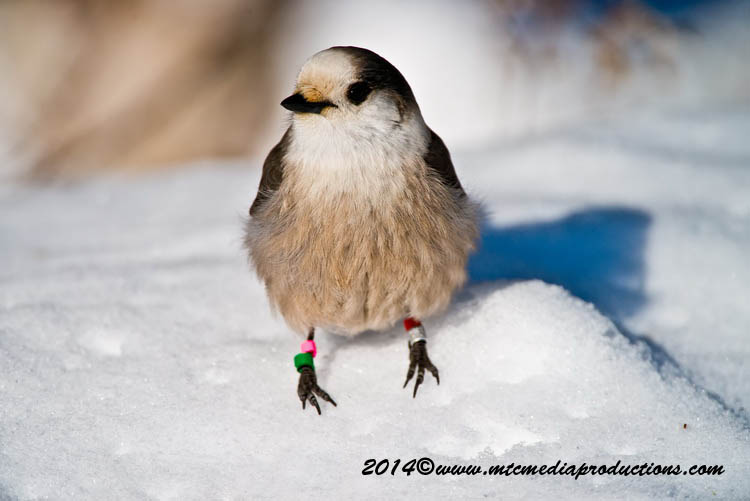 Gray Jay Picture-471