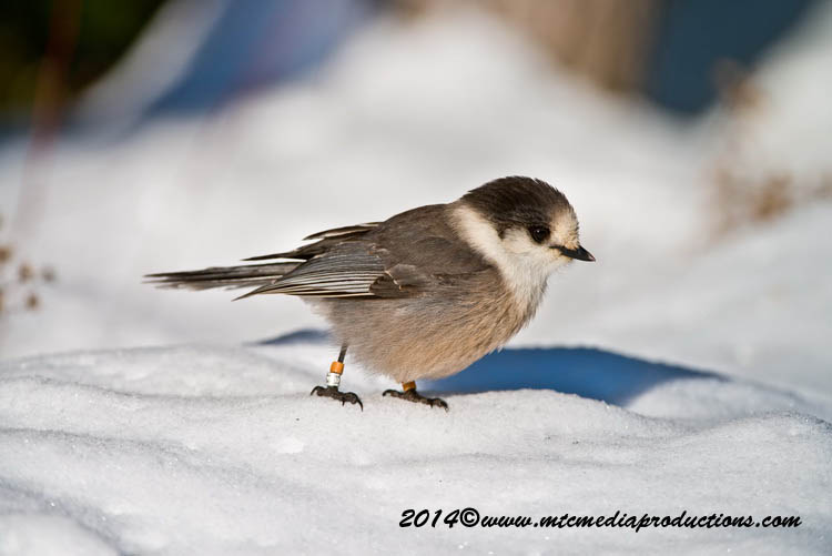 Gray Jay Picture-472