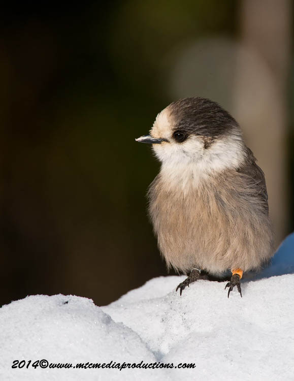 Gray Jay Picture-473