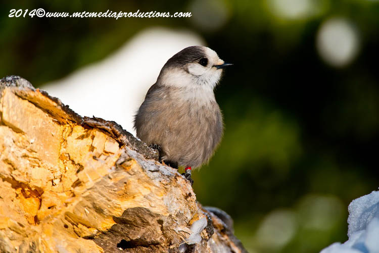 Gray Jay Picture-474