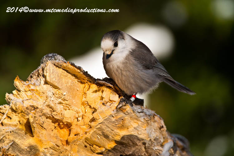 Gray Jay Picture-475