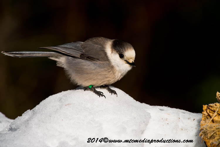 Gray Jay Picture-476