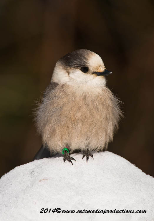 Gray Jay Picture-477