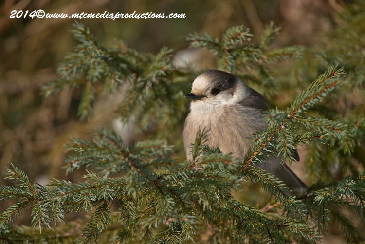 Gray Jay Picture-478