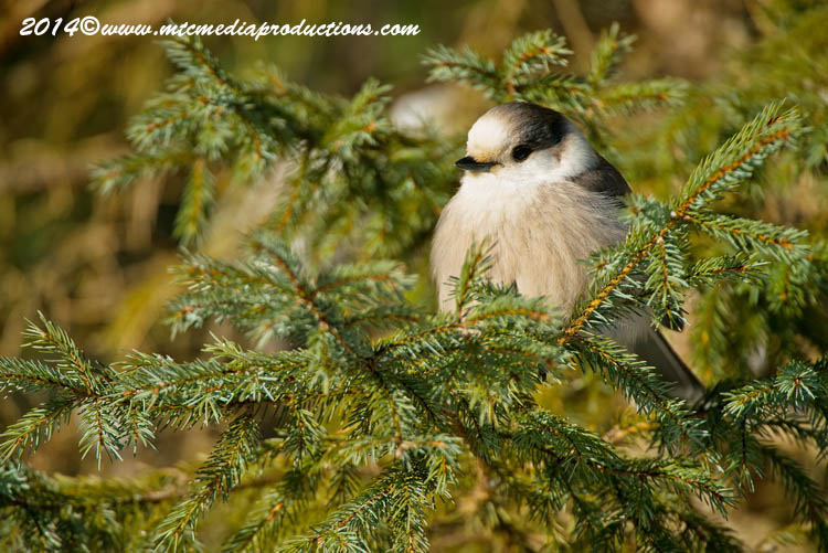 Gray Jay Picture-479