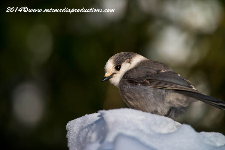 Gray Jay Picture-480