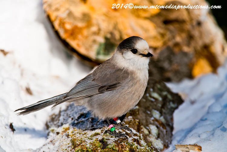 Gray Jay Picture-481
