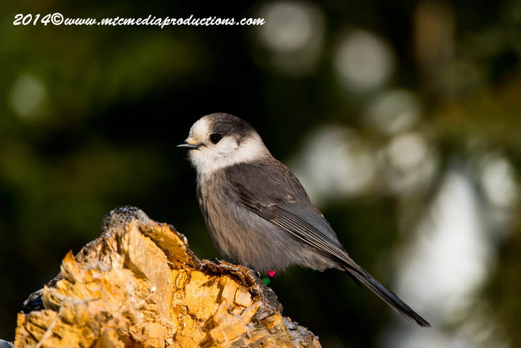 Gray Jay Picture-482