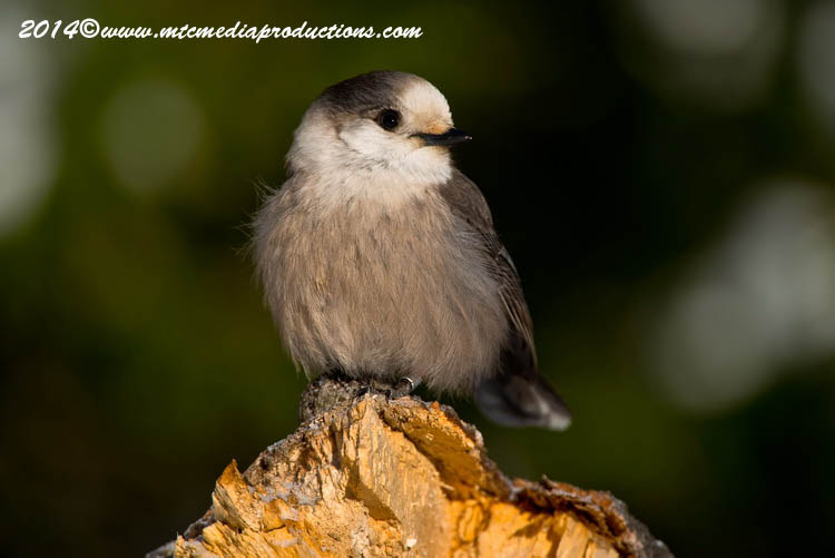 Gray Jay Picture-483