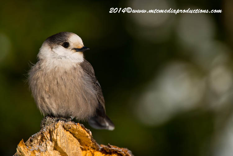 Gray Jay Picture-484
